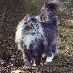 So beautiful ❤️❤️❤️ #fjaril201505 #norwegianforestcat
