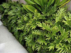 Portal Multiflora: Philodendron xanadu