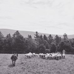Ben with his herd #donkey #sheep #vermont #soVT #grassfed #sustainablefarming #familyfarm