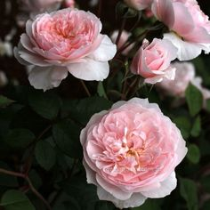 Wisley 2008 :- A rose of exceptional delicacy and charm, producing shallowly cupped blooms along the stems.