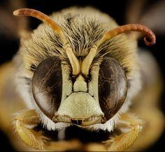 Calliphora vicina - Insect, 25 Closes Em Olhos De Abelhas