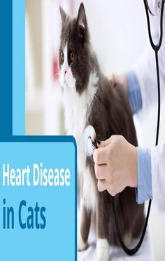 While any cat can have it, heart disease has been linked to breeds like the Maine Coon, Bengal, Persian, and Ragdolls. Orange male cats are also prone to heart problems.Heart disease is not limited to older cats. Sad Cat, Cat 2, Cat Diseases, Cat Signs, Maine Coon, Heart Disease, Arthritis, Bengal, Persian