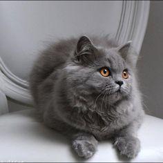 Le BRITISH LONG HAIR est un chat calme et indépendant, près à vous donner beaucoup de bonheur. Retrouvez le dans notre élevage British Addict.