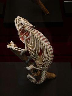 chameleon skeleton - That's f-in' cool!