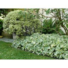 aegopodium podagraria variegatum | Vivaces > Plantes vivaces couvre-sol > Aegopodium podagraria ...