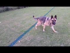 German Shepherd Power Run Power Ran, German, Running, Dogs, Youtube, Animals, Deutsch, Animales, German Language
