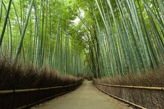 Giant bamboo forest in Kyoto