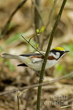 Many types of warblers are seen in rural Wisconsin in spring. This Chestnut-sided Warbler with its yellow, brown, black and white plumage is one of the more colorful ones.