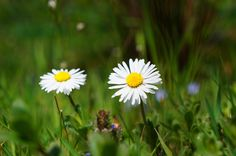 daisy wallpaper to download by Cassandra Little (2017-03-21)