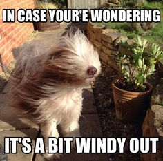 Bearded collie enduring the elements.