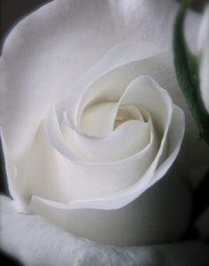White Rose  | | ♫ ♥ X ღɱɧღ ❤ ~ ♫ ♥ X ღɱɧღ ❤ ♫ ♥ X ღɱɧღ ❤ ~ Th 18th Dec 2014