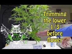 Trimming Cannabis Plant For an Increased Yield | Learn how to grow Marijuana | No more Larf Buds - YouTube