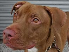 PRESTON is an adoptable Pit Bull Terrier Dog in Brooklyn, NY.  ...