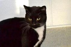 0481 is an adoptable Domestic Short Hair-Black And White Cat in Bridgeport, CT. This pretty girl was dumped outside our shelter with 2 kittens.  The kittens have been adopted and she is still looking ...