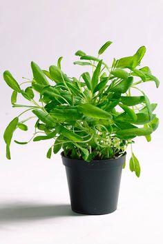 Salvia, Parsley, Pizza, Herbs, Plants, Food, Sage, Essen, Herb