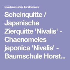 Scheinquitte / Japanische Zierquitte 'Nivalis' - Chaenomeles japonica 'Nivalis' - Baumschule Horstmann