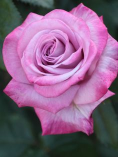 Floribunda Rose: Rosa 'Pastel Mauve' (Japan, before 1989)