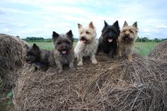 Cairn Terriers hay ride