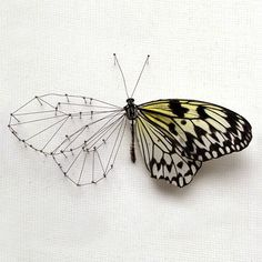 Cool! (As long as it was a found butterfly wing...)