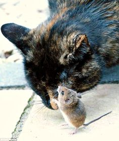 Can cats and hamsters be best friends? Click through to see six pictures as proof: http://www.traveling-cats.com/2015/11/cat-from-westport-ireland.html