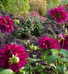 Dahlia 'Thomas A. Edison' is a true show-stopping dahlia and one of my long-standing favourites. Mix with other dahlias, or plant with veg. It looks superb with cabbages and Kale 'Redbor' and is the real show-stopper at Perch Hill.