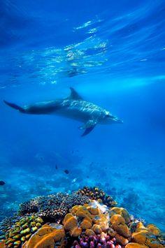 Wild Dolphin and corals in the blue ocean of Zanzibar by Kjersti Busk Joergensen