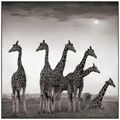 Group of Giraffes is called a Tower.... and other names of animal groups
