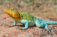 Western Collard Lizard (Crotaphytus collaris) | by Steve Byland