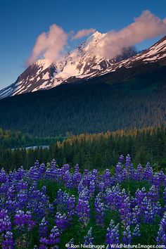 ~~Paradise Peak rises above a field of Lupine, Chugach National Forest, Kenai Peninsula near Seward, Alaska by Wild Nature Images~~ Join our podcast at Oh The Places You'll Go, Places To Travel, Places To Visit, Kenai Peninsula, North To Alaska, All Nature, Nature Images, National Forest, Belle Photo