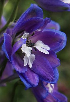 #Set2 Name:Delphinium Scientific Name: Ranunculaceae Availability: year-round from domestic and Dutch growers; highest supply May- October Vase Life: 4-12 days