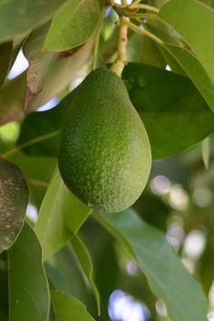 Avocado fruit - How to grow Avocado plant Buy Avocado Tree, Avocado Tree For Sale, Avocado Dessert, Growing Tree, Growing Plants, Avocado Toast, Vegetative Reproduction, Plant Information, Tree Seeds