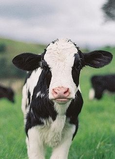 "I love baby cows!  Had a cow like this growing up and her name was ""Daffy""..."