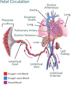 Fetal Circulation Before Amp After Birth Nursing
