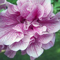 50 Petunia DOUBLE WAVE BLUE VEIN Live Plants Plugs Garden Home DIY Planters S7 #BountifulPlants