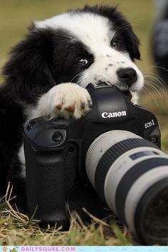 Panda, a Border Collie cross puppy chewing a camera - A Place to Love Dogs Cute Baby Animals, Animals And Pets, Funny Animals, Cute Puppies, Cute Dogs, Dogs And Puppies, Border Collie Puppies, Puppy Play, Pets
