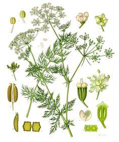 Carum carvi - Wikipedia, la enciclopedia libre