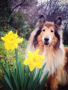 Almost Spring by hermio.deviantart.com on @DeviantArt #dog #cane #candy #collie #lassie #hermio #candy #black