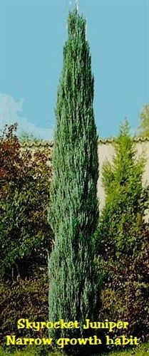 sky rocket jupiter, fast growing,hardy in our zone 15 to 20 feet full sun, partial shade, 10 to 18 inches a year average