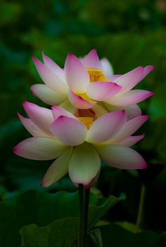 Double Lotus | Flickr - Photo Sharing!