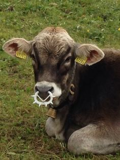 Punk cow #cow #switzerland #lenzerheide #parpan