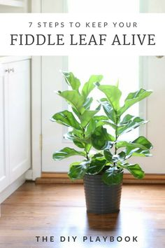 The best tips for keeping a fiddle leaf fig alive!