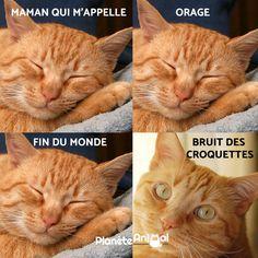 Les chats ont l'ouïe sélective semble t-il... C'est la fin du monde et votre chat a décidé de ne pas se réveiller ? Rien de moins anormal... Si vous voulez savoir combien de temps un chat dort, CLIQUEZ sur l'image !! #cat #catsofinstagram #strangerthings #rire #fun #funnymemes #funnypictures #lol #funny #memes #vie #thursday #france #animaux #paris #drole