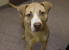 pit bulls | Dry cleaner in Carlisle plans Pit Bull Awareness Day in May