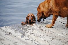 basic training the redbone coonhound way All About Animals, Like Animals, Animals And Pets, Pet Dogs, Dogs And Puppies, Micro Farm, Redbone Coonhound, Red Bone, Cutest Dogs
