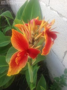 Full size picture of Canna Lily 'Transvaal' (<i>Canna x generalis</i>)