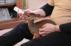 Baby dik dik antelope being fed.