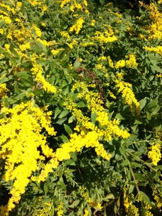 Keep the Goldenrod growing naturally along the road for the bees.