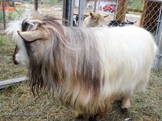 Information about our Miniature Silky Fainting Goat buck, San Sujo Buster Brown, at GottaGoat Farm. Fainting Goat, Farm Animals, Goats, Miniatures, Horses, Brown, Horse, Mockup, Goat