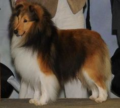 11 Best Sheltie Puppies For Sale Images Sheltie Puppies For Sale