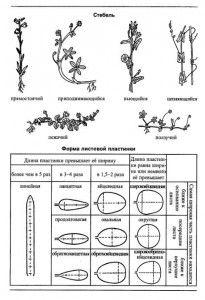 Стебель и форма листовой пластинки